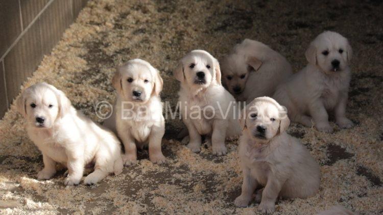 Cuccioli Di Golden Retriever Allevamento E Pensione Animali In