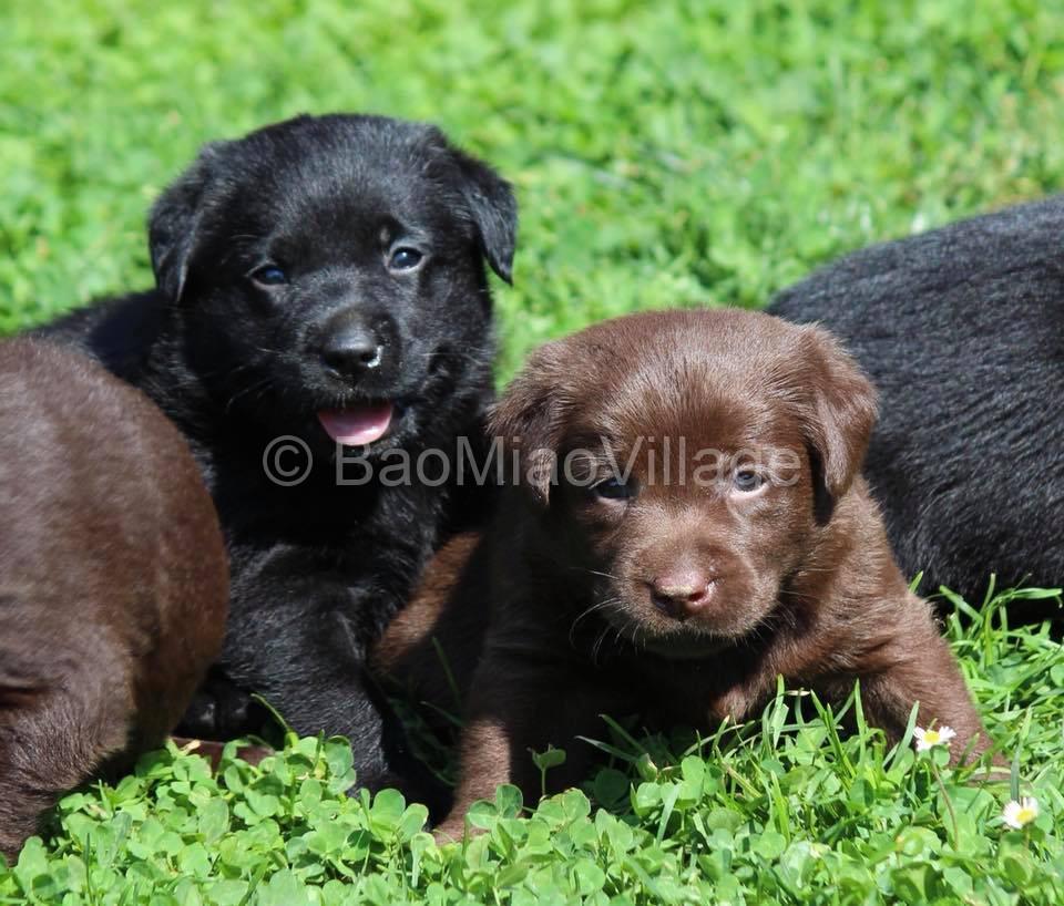 labrador chocolate e nero